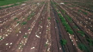 Gourd field. Aerial view. Agricultural background video