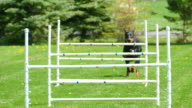 Graceful Doberman Dog Jumping Agility Hurdles in Slow Motion video