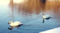 Graceful swans floating on water. White swans swimming on water video
