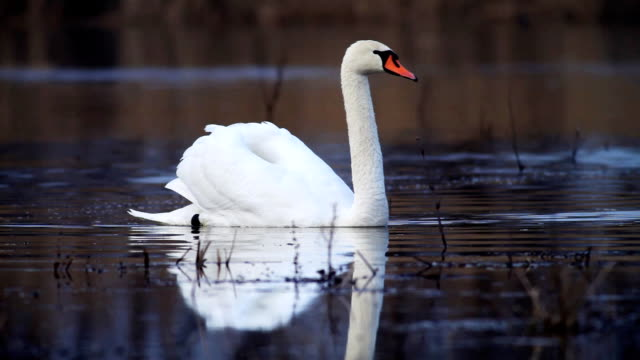 Gracessful swan. video