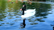 Gracious couple of two black necked swans in pond video