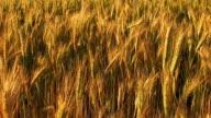 grain field against in a wind video