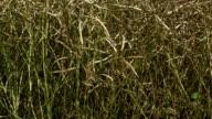 Grain field. Montage video