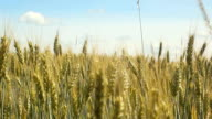 Grain field video