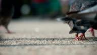 Grain for Urban Pigeons video