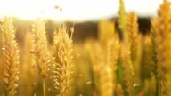 HD SUPER SLOW MO: Grains Falling Over Wheat Stems video
