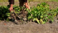 Grandfather digging the beets. video