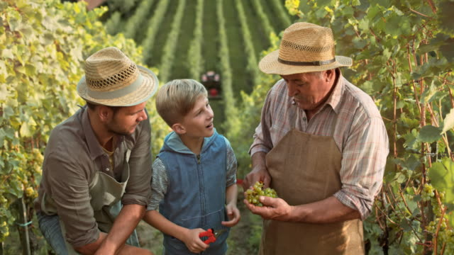 DS Grandpa, son and grandson trying grapes in vineyard video