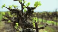 Grape bushes in vineyard video