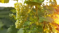 SLO MO Grape cluster on the vine at sunset video
