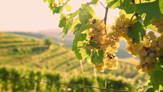DS Grape disease video