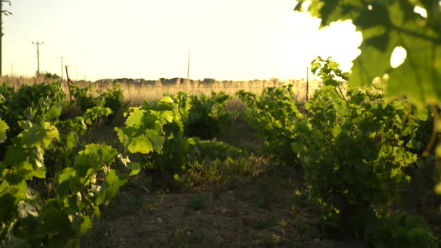 Grape field video