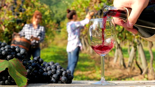 grape harvest in a sunny day video