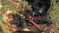 Grape harvest tools video