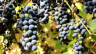 Grape harvest video