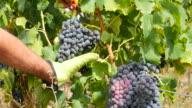 Grape harvesting in France video