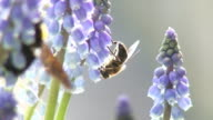 Grape hyacinth and insects video