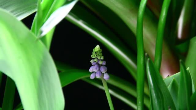 Grape hyacinth blooming 4K video