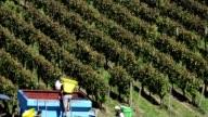 Grape pickers harvesting grapes in Bordeaux vineyards near Saint-Emilion-Gironde, France video