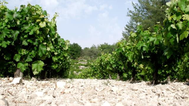 Grape plantation on a sunny day video