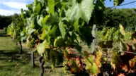 Grape vines in the South of France video