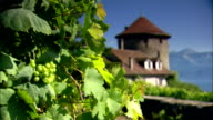 Grapes and a vine on vineyard in Switzerland video