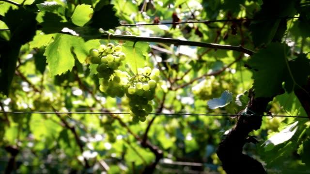 Grapes at the vineyard video