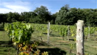 Grapes growing in France video