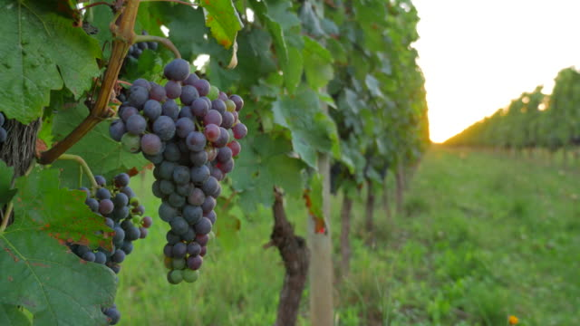 Grapes growing in vineyard video