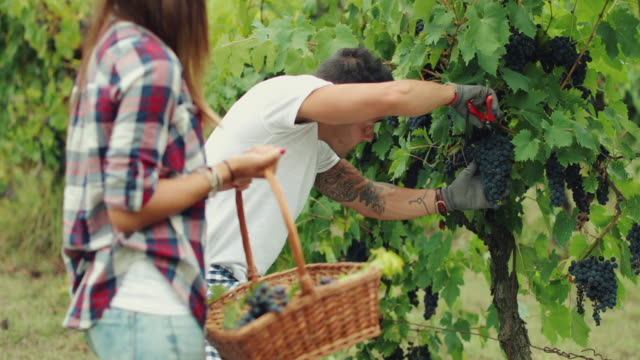 Grapes Harvesting and Picking Up in Italy video