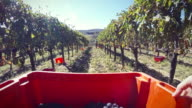 Grapes Harvesting and Picking Up POV video
