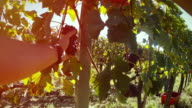 POV grapes Harvesting and Picking Up video