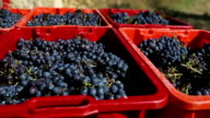 Grapes Harvesting and Picking Up video