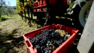 Grapes Harvesting in a Vineyard of Tuscany video