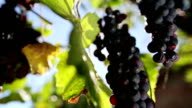 Grapes Harvesting: vineyard view video