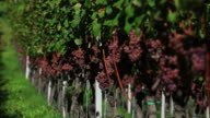 HD Grapes in a Vineyard (Loopable) video