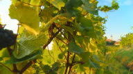 HD DOLLY: Grapes In Vineyard And Church video