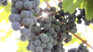 grapes on the plantation video