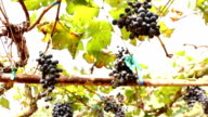 Grapes on tree video