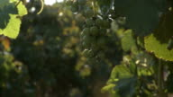 Grapes on vine video