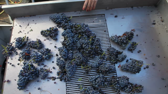 Grapes passing through a de-stemming machine video