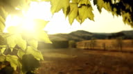 Grapes plant leaves at sunset in Tuscany video