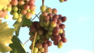 Grapes / Vinyard - HD & PAL video