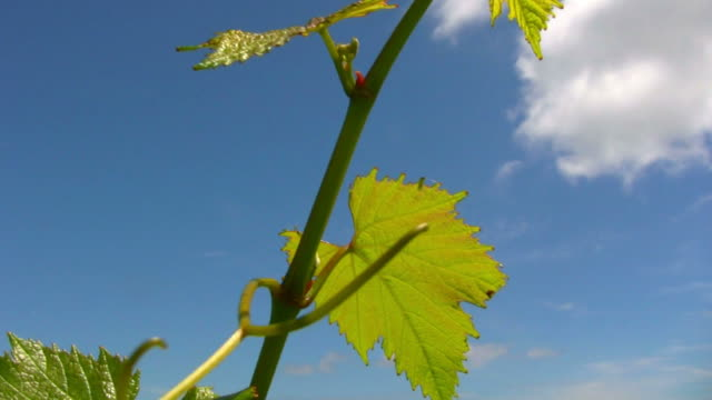 (HD1080i) Grapevine Leaves in Wind video