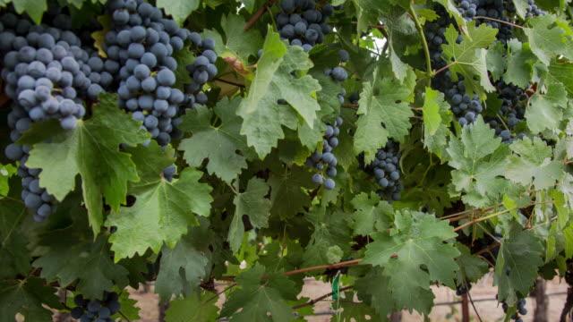 Grapevine Ripe Grape Clusters video