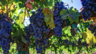 Grapevine Ripe Grapes video