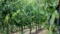 Grapevines. Panning Right. video