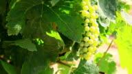 Grapeyard , Switzerland video