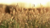 Grass At Sunset video