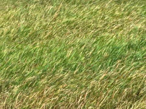 Grass Field in Wind 1 video